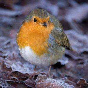 NASS Christmas Cards: Curious Robin